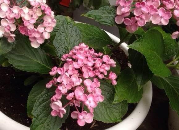 hortensia-stekken-viving
